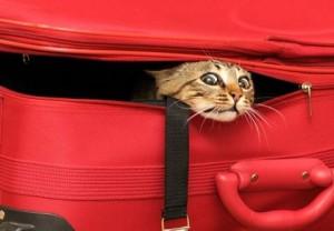 Cat inside suitcase