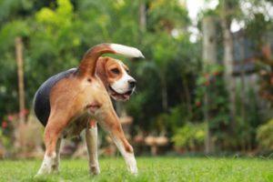 Cling dogs female in heat