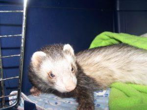 Pet ferret in bed
