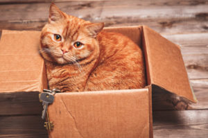 Moving with pets. Orange Tabby cat in box.